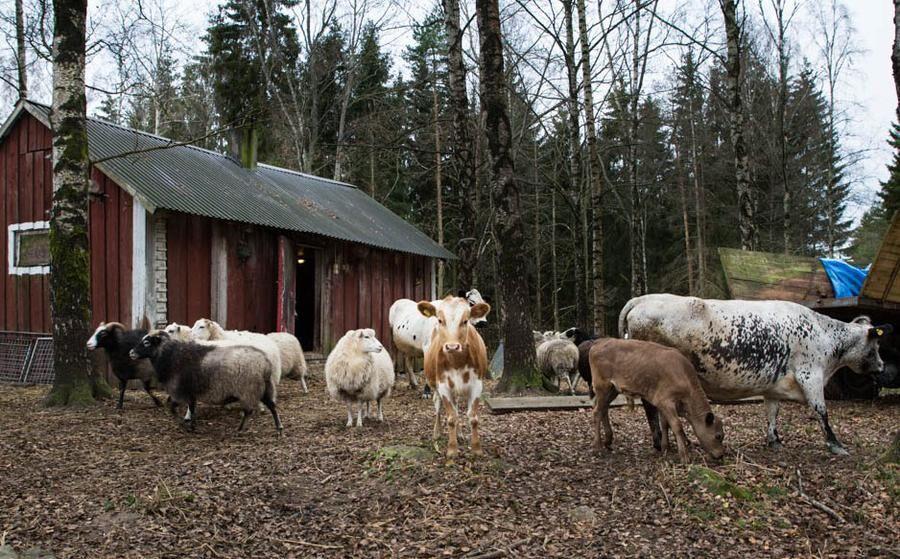 Land.se skrive rom den utortningshotade rasen fjällnära boskap.