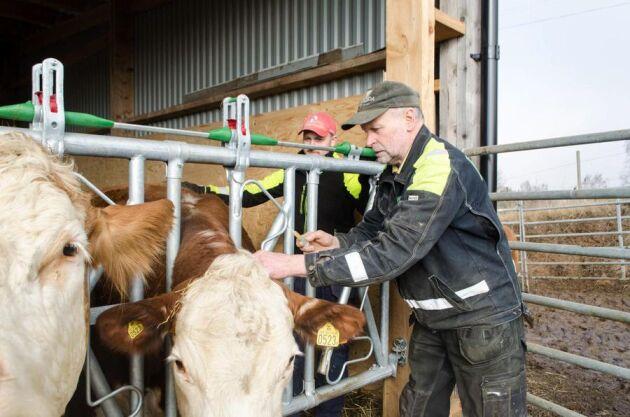 Lars-Åke Persson har fått tillåtelse av distriktsveterinären att själv utföra vaccinationen mot frasbrand. Det tar honom och sonen Robert ungefär en timma att hinna med de 20 djuren.