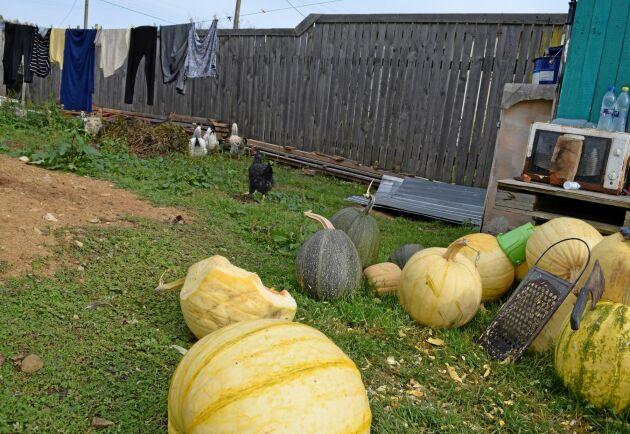 Bakgårdsjordbruken står nu för 35 procent av matproduktionen i Ryssland.