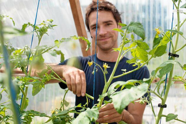 Alla tomatplantor utom busktomat behöver bli av med tjuvskotten i bladvecken.