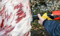 Bakterier som orsakar matförgiftning ofta i vildsvin