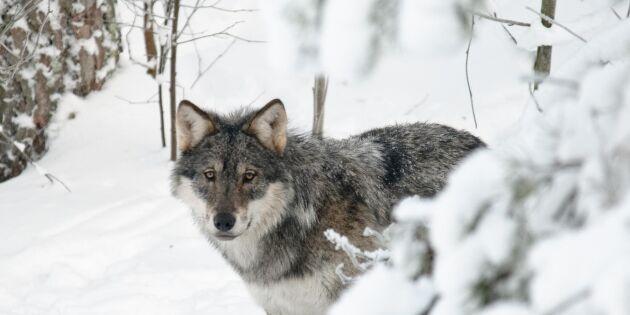 Flera vargar fällda under jaktens första dag