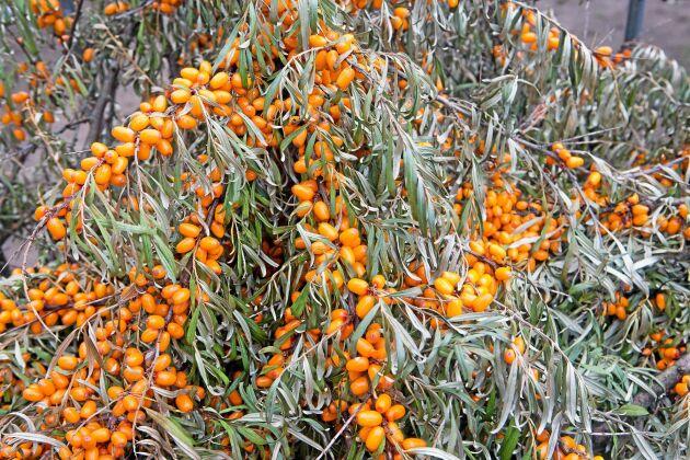 Havtorn är ett lönsamt bär att odla och dessutom nyttigt.