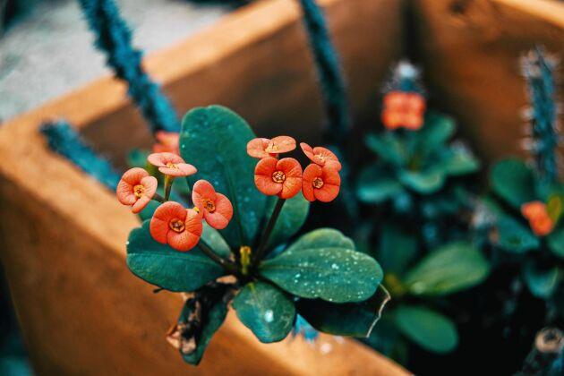 Blommorna finns i flera färger, från vitt och gult till mörkrött.