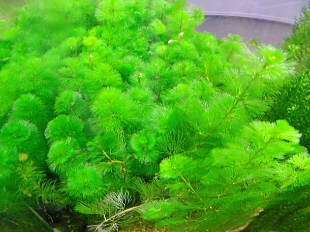 Kabomban såldes förr som akvarieväxt, låt den stanna inne.