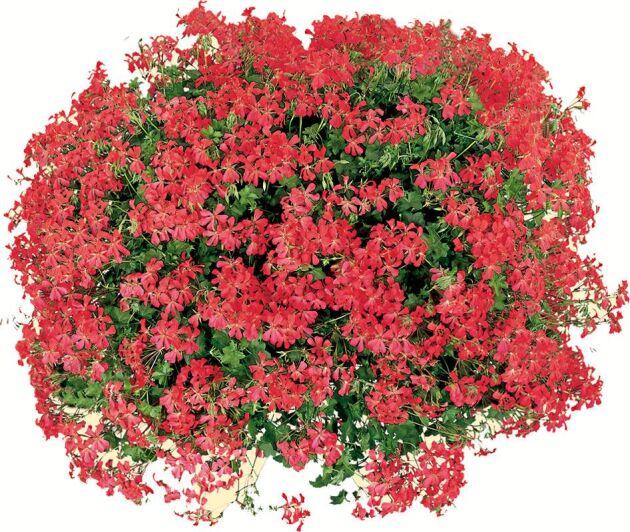 Kaskadpelargon är ett underbart fyrverkeri av blommor.