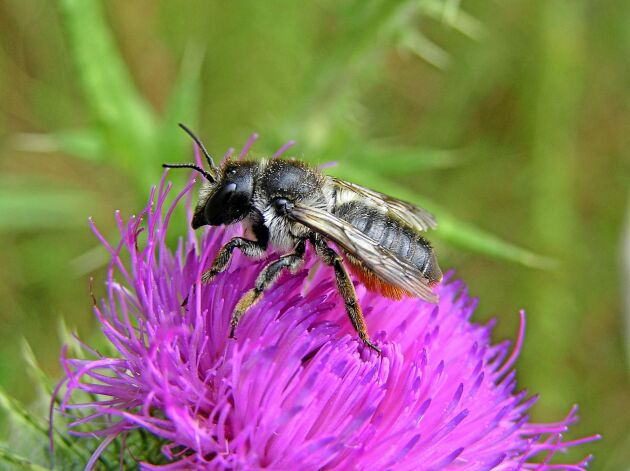 Trätapetserarbiet bygger bon i murket trä eller ihåliga strån som tapetseras med bladbitar. Det kan ses flyga i juni–september.