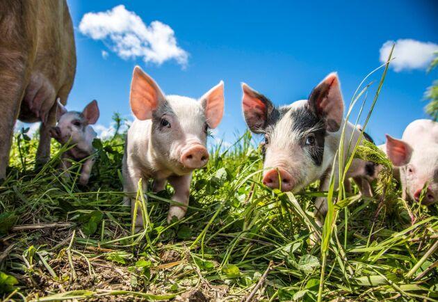 I Tyskland ska konsumenter kunna se vilka uppfödare som går utöver djurskyddslagkraven på bland annat grisuppfödning genom en frivillig märkning.