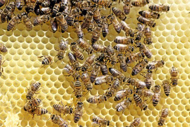Olika växtskyddsmedels effekter på bin är en omdiskuterad fråga i EU.