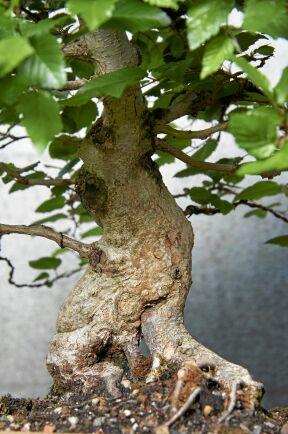 En bonsai på en avenbok (koreansk avenbok). Den här har Maria Arborelius haft i sin trädgård sedan tidigt 1990-tal.