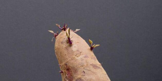 Grodda sötpotatis i fönstret – allt du behöver veta för att lyckas