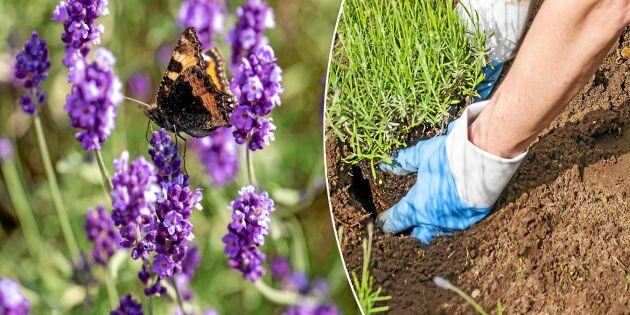 Ljuvlig doft och färg! Så lyckas du med lavendel i din trädgård