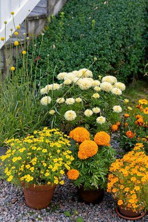 Snigeldrabbade trädgårdsägare får satsa på krukodling. I bakre raden står en 'Vanilla', som har fått sällskap tagetesarna 'Tiger Eyes' och 'Strawberry Blonde'. I främre raden syns sorterna 'Lemon Star', maffiga 'Taichan Orange', ' Tangerine Gem'och 'Strawberry Blonde'