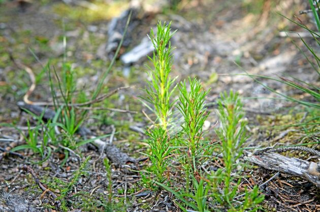 Vid sådd kan småplantor vara känsliga för svampsjukdomen tallskytte men Annalena Cronas plantor har klarat sig.
