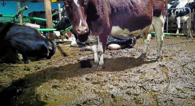 Uppdrag Gransknings program om Arlagården redovisade aldrig att utgödslingen hade gått sönder när djurrättsaktivister filmade inne i ladugården.
