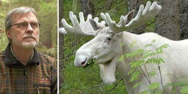 Ulfs film om Ferdinand blev en succé – men nu är vita älgen försvunnen