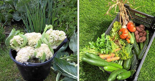 Vilket utbud av egna grönsaker! Lotta och Anders kan frossa i riktigt närodlat året om.