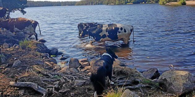 Kor svalkade sig i vattnet