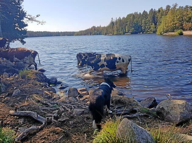 Brydd vallhund. Kor gillar att bada i värmen men vallhunden Cita undrar hur hon ska få hem dem, skriver Peter Klasén i Hjorted i Kalmar län. Peter har tagit bilden en av denna sommars många varma dagar och skickat in den till Folk & Fä.