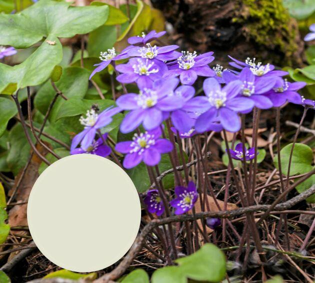 Blåsippor har inte blått pollen. I de blommorna hämtar bina ljust grågrönt pollen.