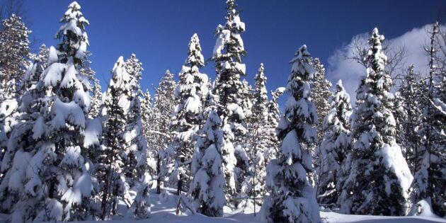 Snön kan knäcka trädtopparna