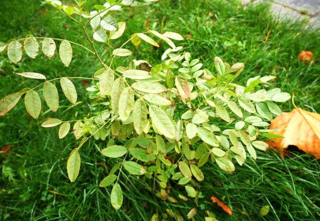Under plantan döljer sig flera meter långa lakritsrötter.